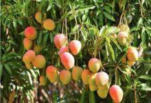 """صورة الزراعة"""" تحدد إجراءات شهر مارس لزيادة انتاج محصول المانجو"""