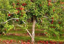 """صورة """"الزراعة"""" تصدر نشرة بالتوصيات الفنية لمزارعي محاصيل الفاكهة المتساقطة (فيديو)"""