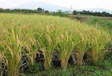 """صورة توفر 40% من المياه.."""" لزراعة """"تبدأ زراعات الارز بتوفير التقاوي"""