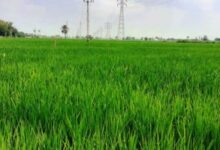 """صورة """"الزراعة """": تخفيص مساحات الارز 700الف فدان هدا العام"""