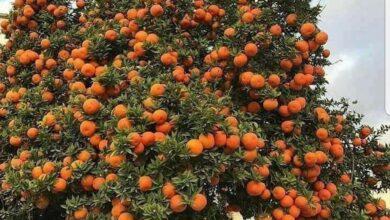 """صورة الزراعة"""" تصدر التوصيات الواجبة لتخفيف تأثير الموجة الحارة علي محاصيل الفاكهة والخضر"""