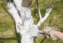 صورة طلاء المزارعين أشجار الفاكهة بالجير الأبيض.. نكشف الاسباب
