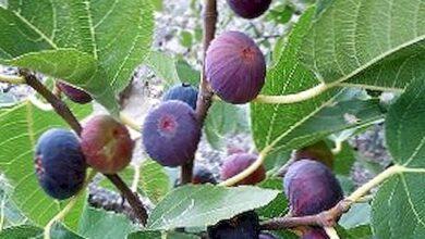"""صورة """"الزراعة"""" تقدم 4 توصيات فنية لمزارعي محصول التين(فيديو)"""