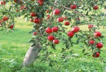 """صورة """"الزراعة"""" تصدر نشرة بالتوصيات الفنية لمزارعي محصول التفاح(فيديو)"""