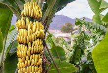 صورة نشرة بالتوصيات الفنية لمزارعي محصول الموز