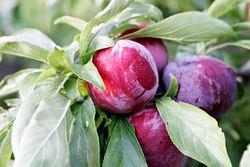 """صورة """"الزراعة"""" تصدر 3 توصيات فنية لمزارعي محصولي البرقوق والمشمش"""