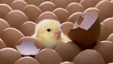 صورة لأول مرة.. تصدير بيض تفريخ كتاكيت من مصر إلى دولة الإمارات