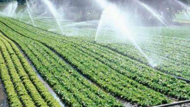 """صورة """"الزراعة"""": خطة للحد من زراعات الارز والموز..واستبدال """" القصب"""" ببنجر السكر"""
