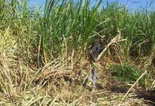 صورة نشرة بالتوصيات الفنية لمزارعي محصول قصب السكر