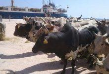 """صورة """"الزراعة """" :استيراد 96 ألف رأس عجول أبقار، و 70 ألف رأس أغنام بمناسبة لعيد الأضحى"""