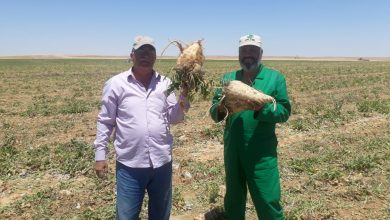 """صورة """"الزراعة"""" : توريد 60 ألف طن بنجر لمصانع السكر من مشروع غرب المنيا"""