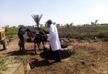 صورة الزراعة: تحصين 3 مليون جرعة ضد مرض الحمي القلاعية وحمى الوادي المتصدع
