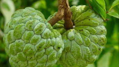 صورة تعالج 12نوعا من السرطان..تعرف انواع ومناطق زراعة شجرة القشطة
